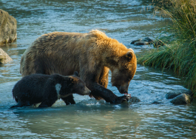 Alaska-Bear-Viewing